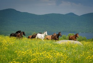 Mountain Top 600 Inn horses in meadow